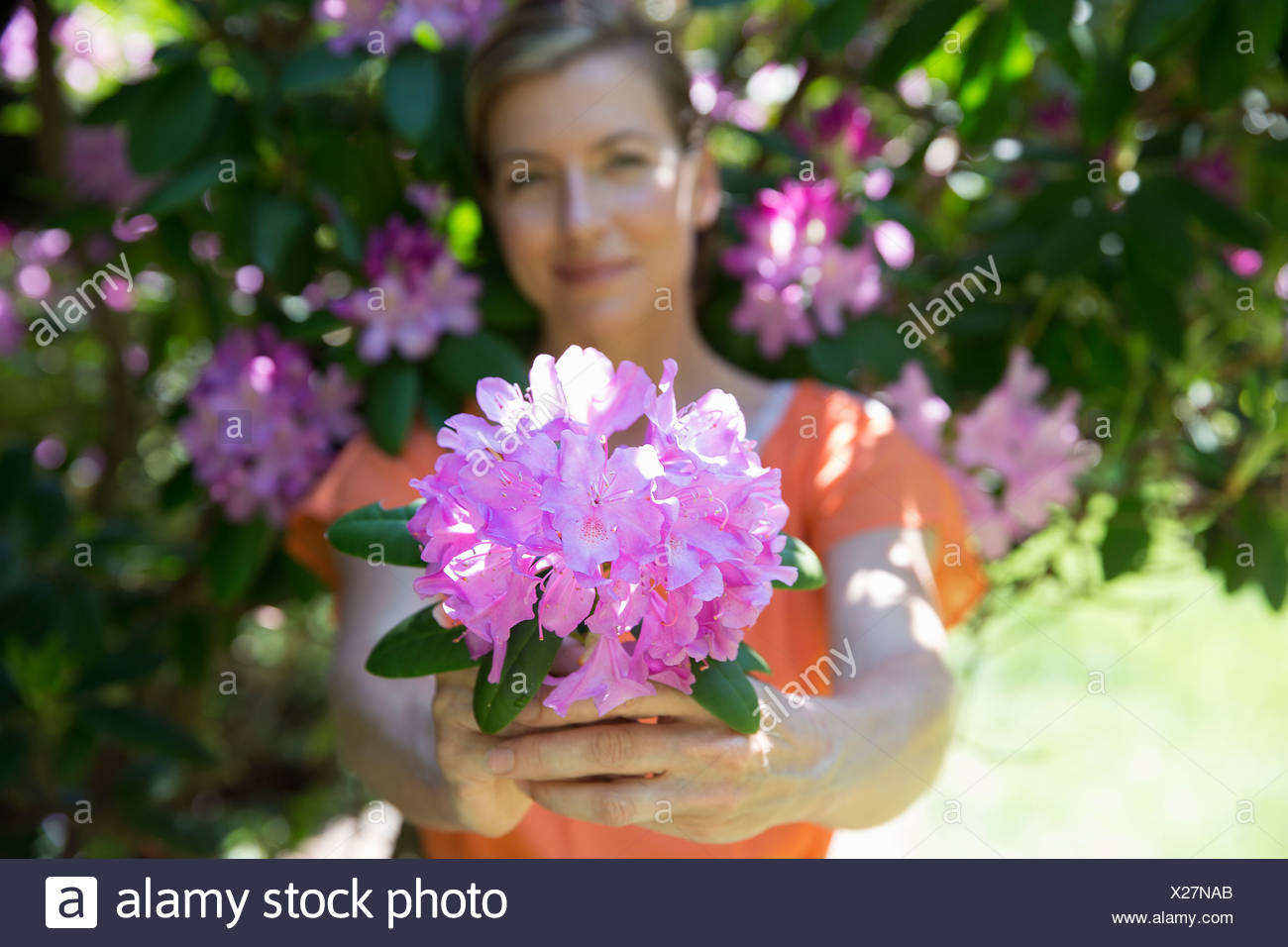 A woman standing in front of a flowering shrub, holding out a large purple hydrangea bloom. - Stock Image