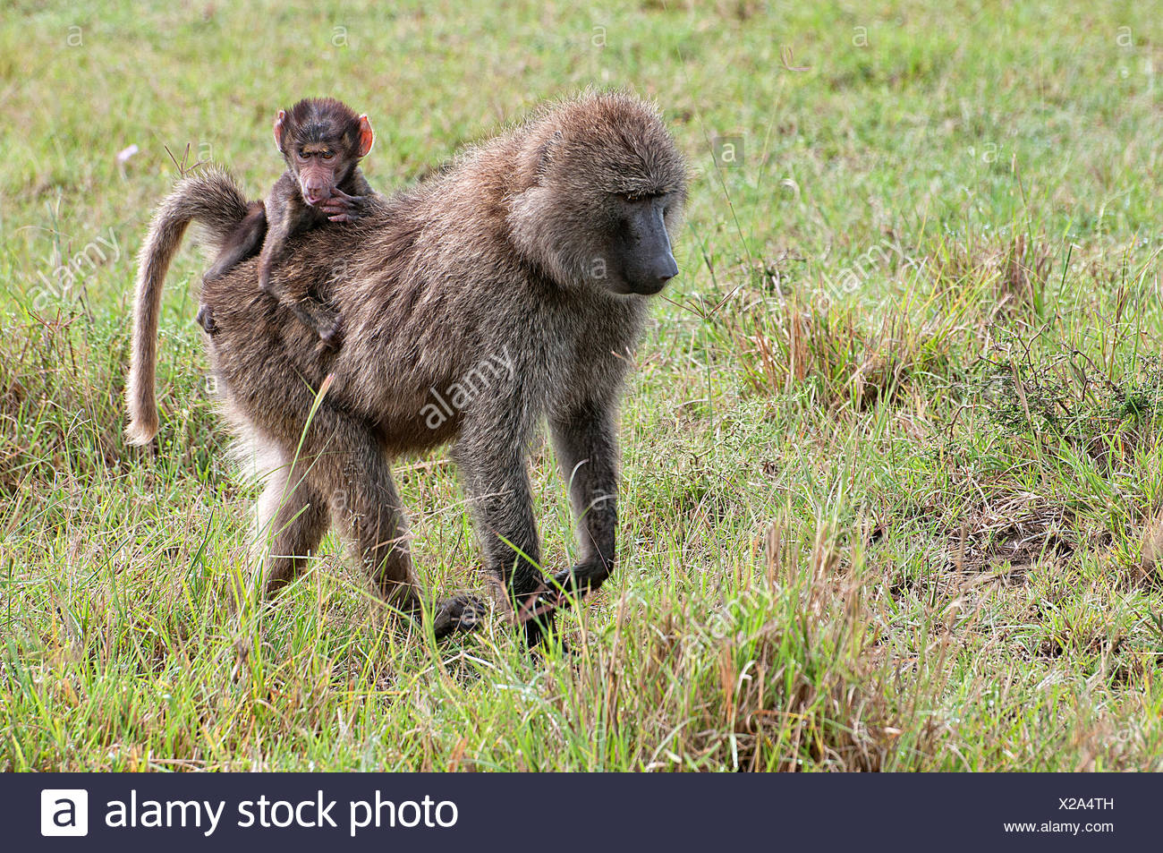 Female Olive Baboon carrying a baby on her back through grassland in Lake Nakuru National Park Kenya East Africa  OLIVE BABOON B - Stock Image