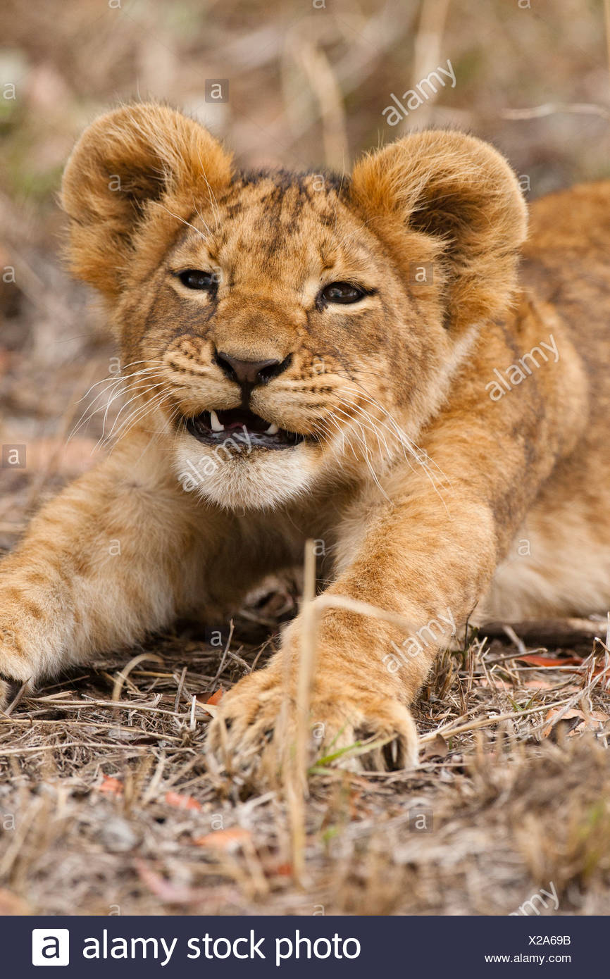 Lion cub, Masai Mara, Kenya - Stock Image
