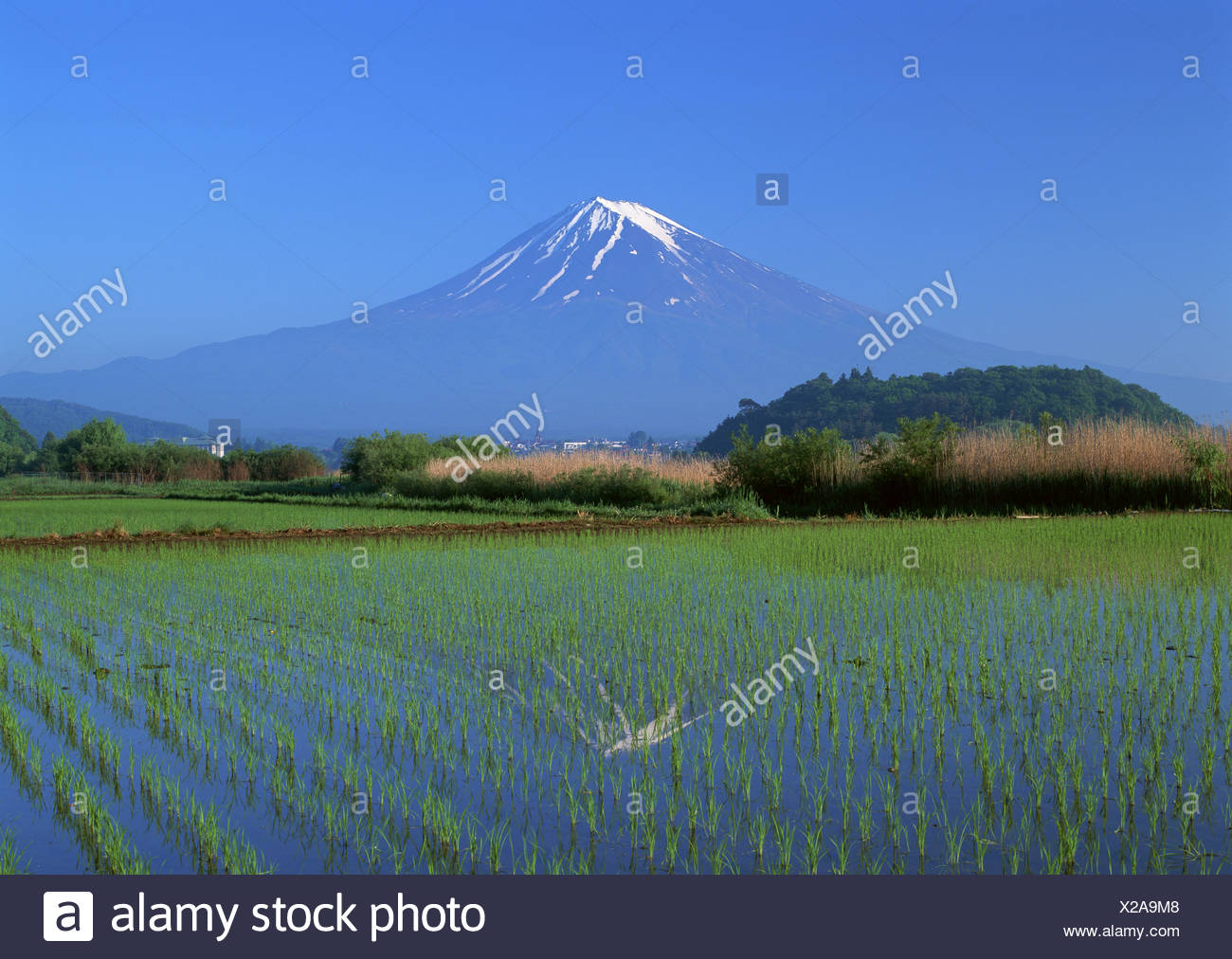 Rice field and Mt. Fuji - Stock Image