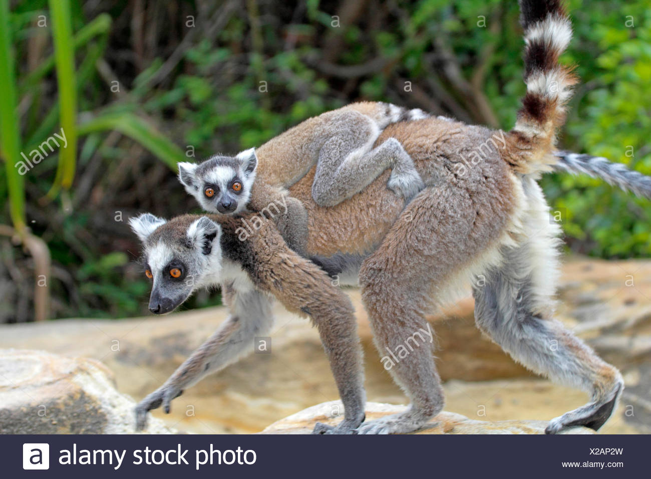 ring-tailed lemur (Lemur catta), female with pup on her back, Madagascar, Andringitra National Park - Stock Image