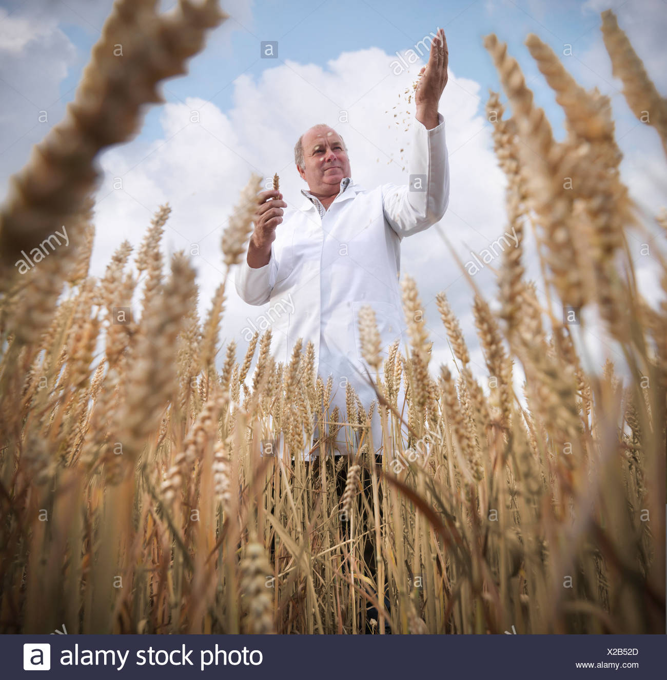 Scientist examining wheat grain in field - Stock Image