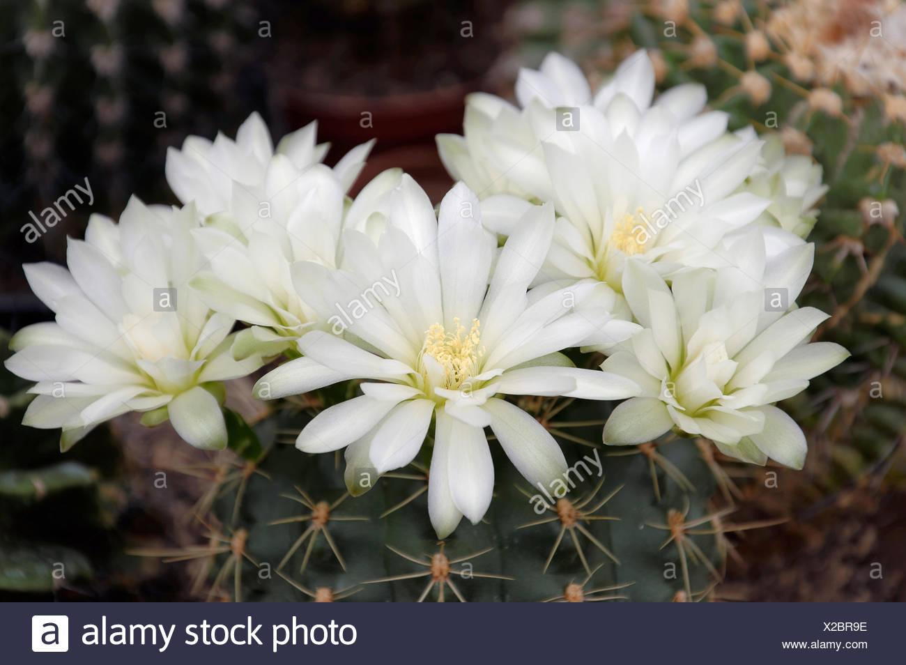White Cactus Flowers Mammilaria Spec Stock Photo 276854970 Alamy