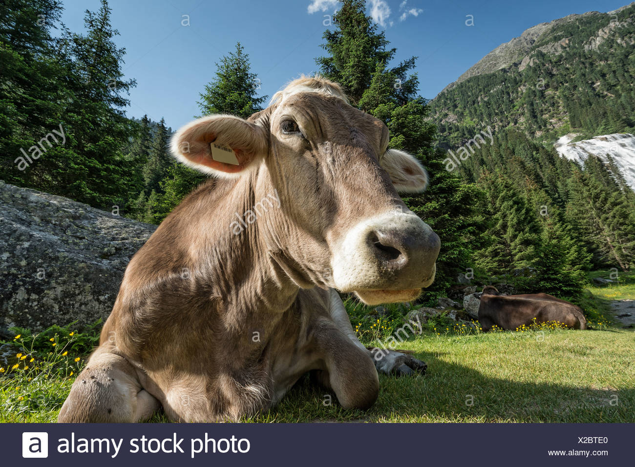 Tyrolean Brown Cattle, cow without horns ruminating, Grawa Alm, mountain pasture, Stubai Valley, Tyrol, Austria, Europe - Stock Image