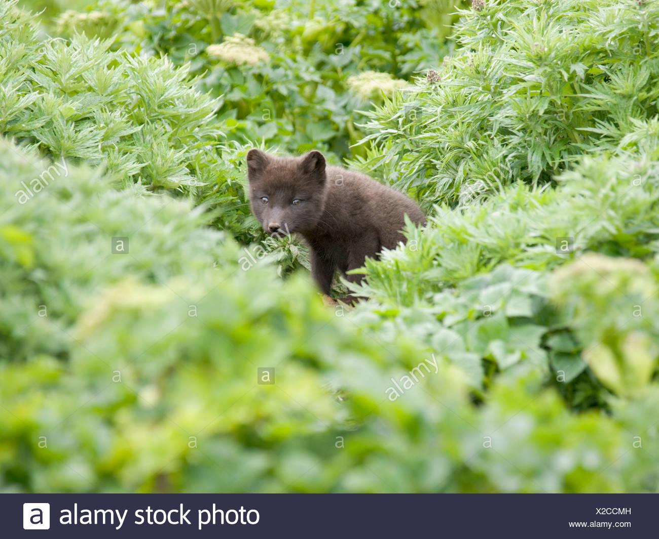 View of Arctic Fox kit near its den, St. Paul Island, Alaska, Summer - Stock Image