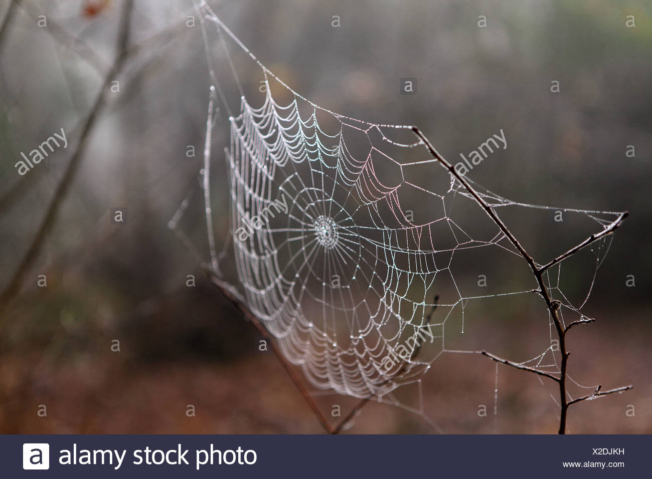 Dew on a spider's web - Stock Image