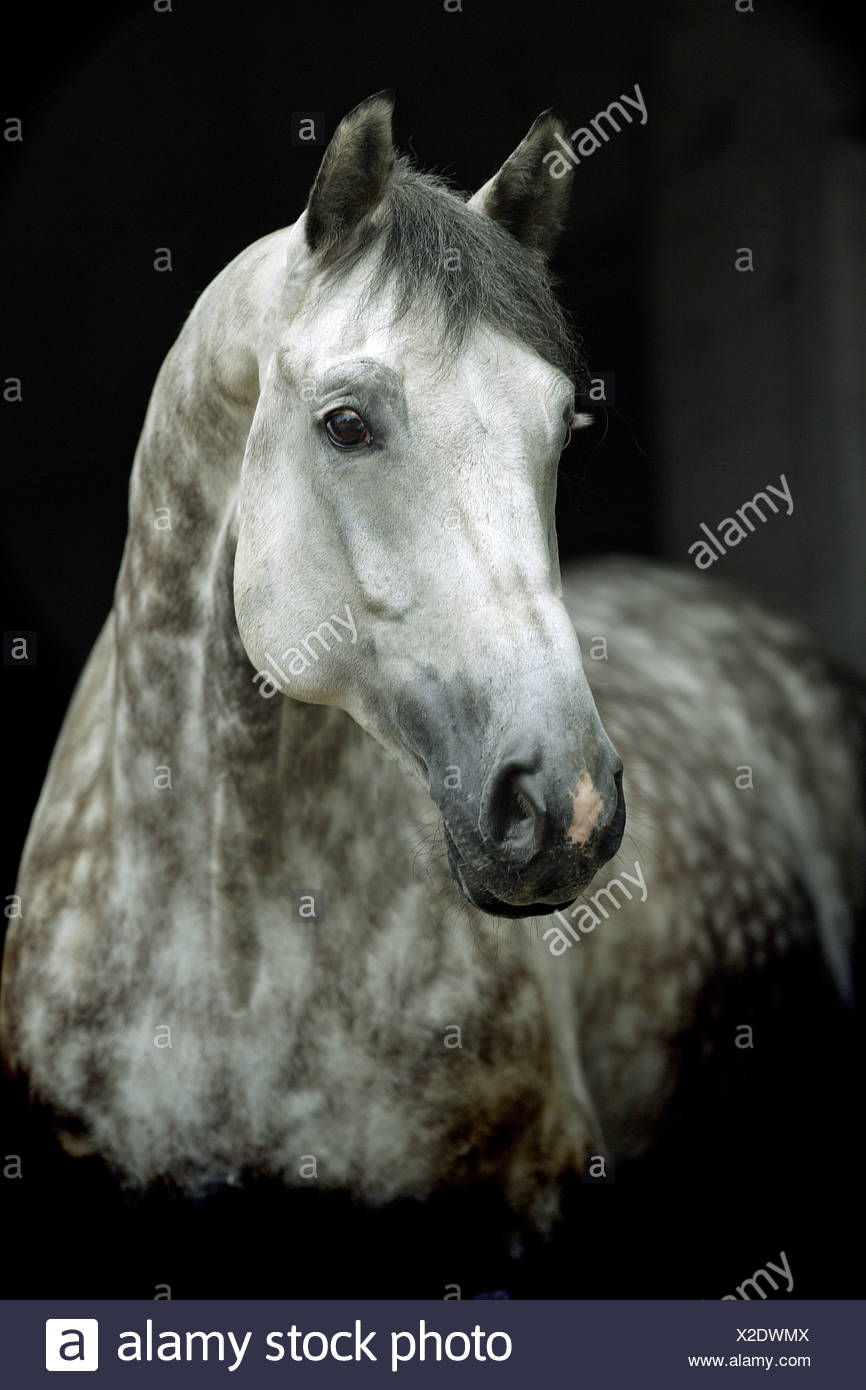 holstein - portrait - Stock Image