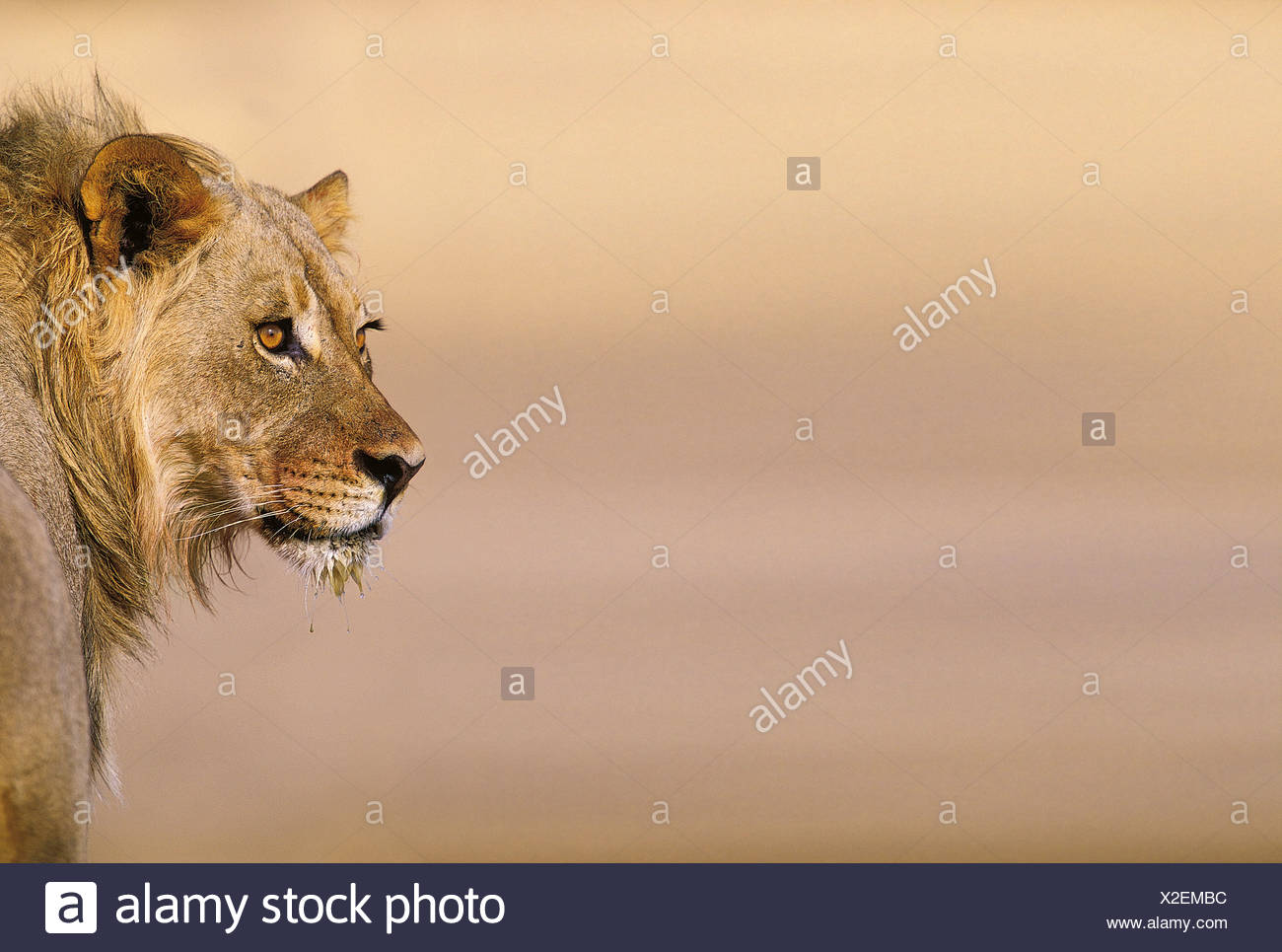 Young Male Lion (Panthera leo) on the Lookout - Stock Image