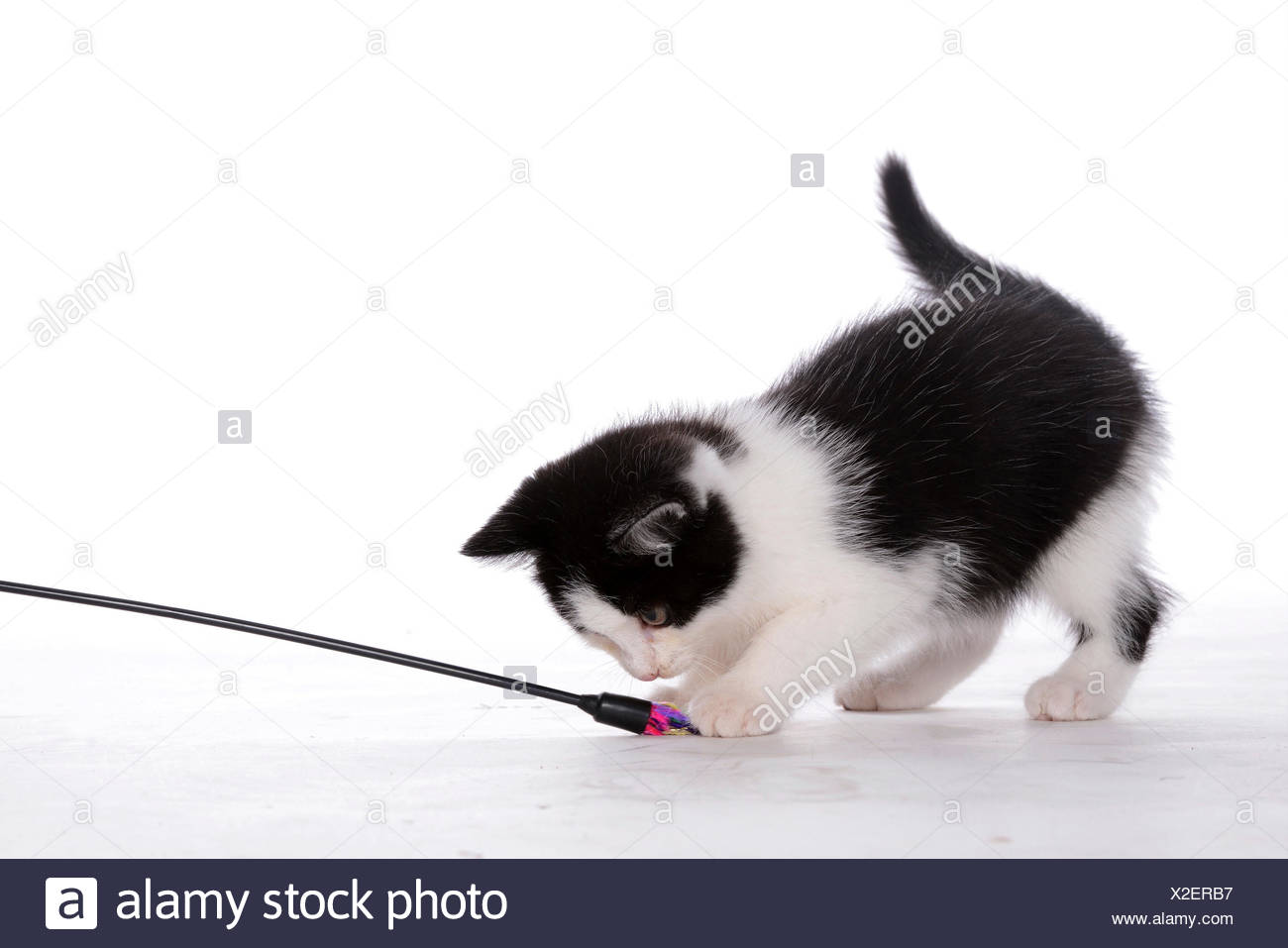 domestic cat, house cat (Felis silvestris f. catus), spotted black and whit kitten playing with a feather frond - Stock Image