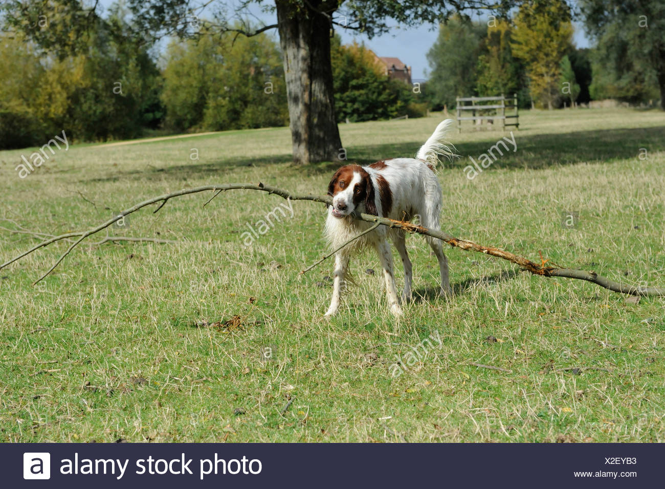 A red and white setter holding a long stick in his mouth - Stock Image