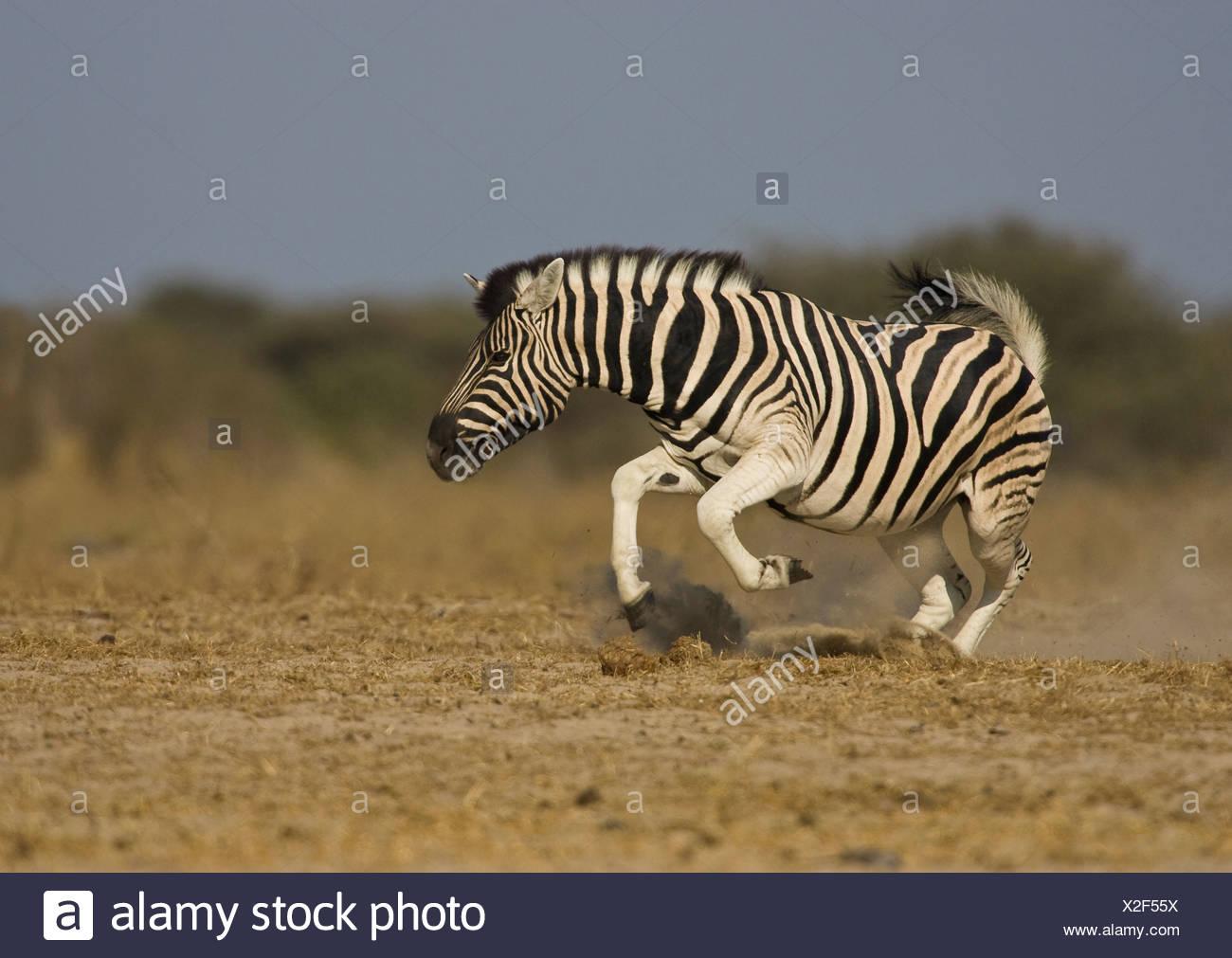 Zebra displaying, Etosha National Park, Namibia. - Stock Image