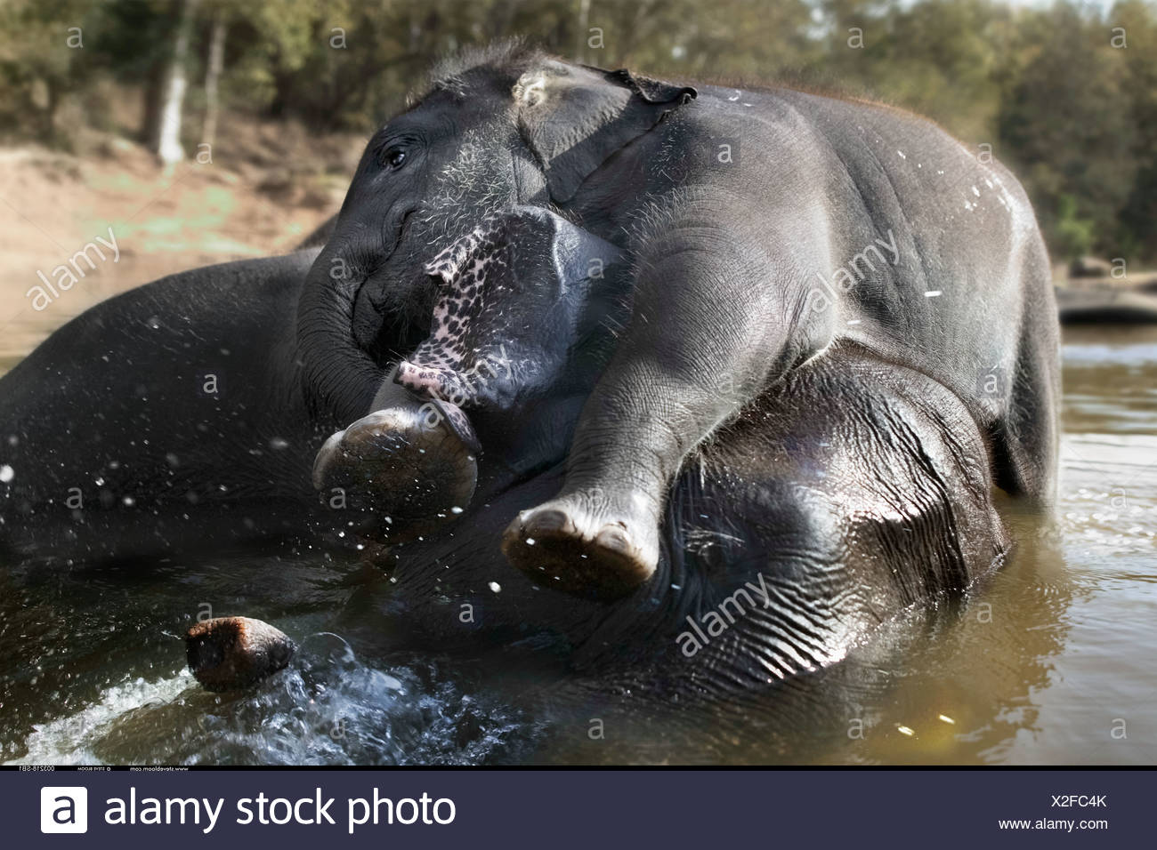 Young Indian Elephant playing in the water with his mother Kanha India - Stock Image