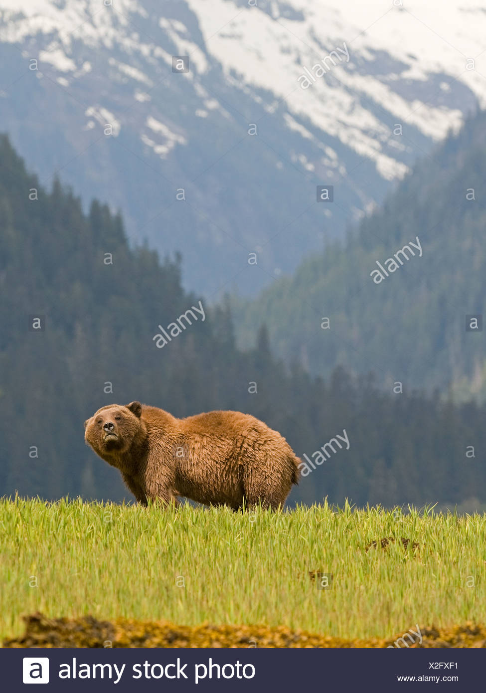 Male Grizzly Bear (Ursus arctos horribilis)  Khutzeymateen Grizzly Bear Sanctuary North of Prince Rupert British Columbia Canada - Stock Image