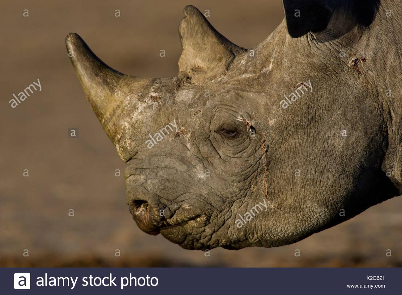 Black Rhino Portrait, Etosha National Park, Namibia. - Stock Image