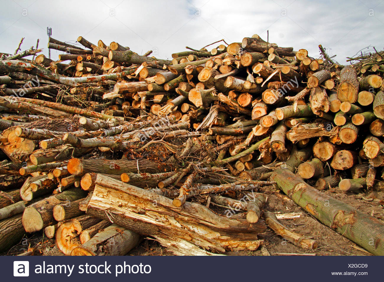 timber storage after deforestation, Germany - Stock Image
