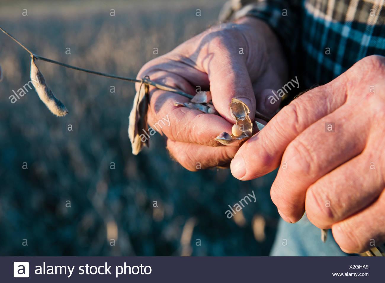 Senior male farmer hands holding at soybean pod, Plattsburg, Missouri, USA - Stock Image