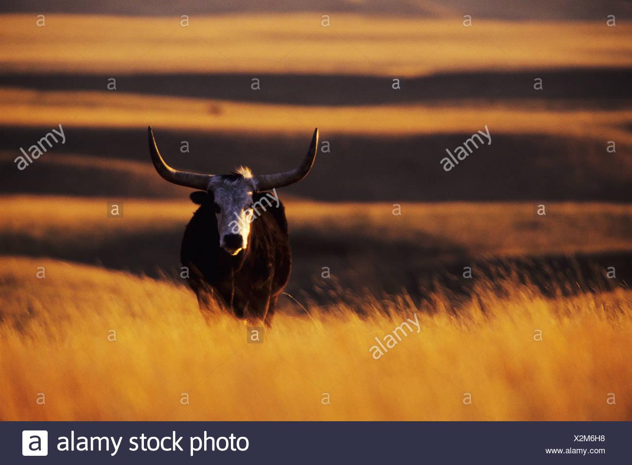 Longhorn steer near Mankota, Saskatchewan, Canada - Stock Image