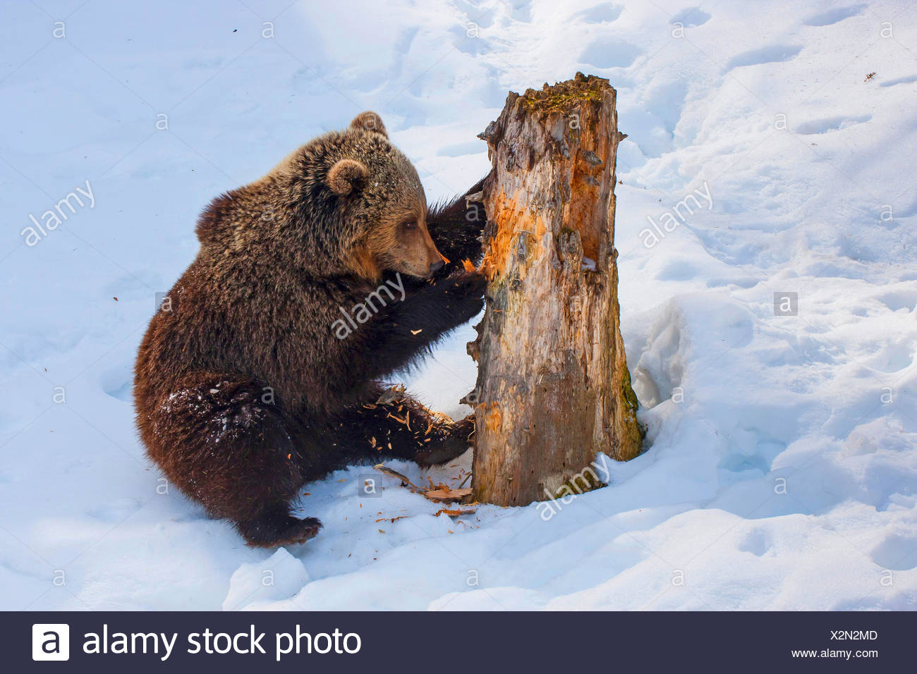 brown bear (Ursus arctos), juvenile brown bear in the snow scratching at an old tree trunk, Switzerland, Waadt, Vallobre - Stock Image