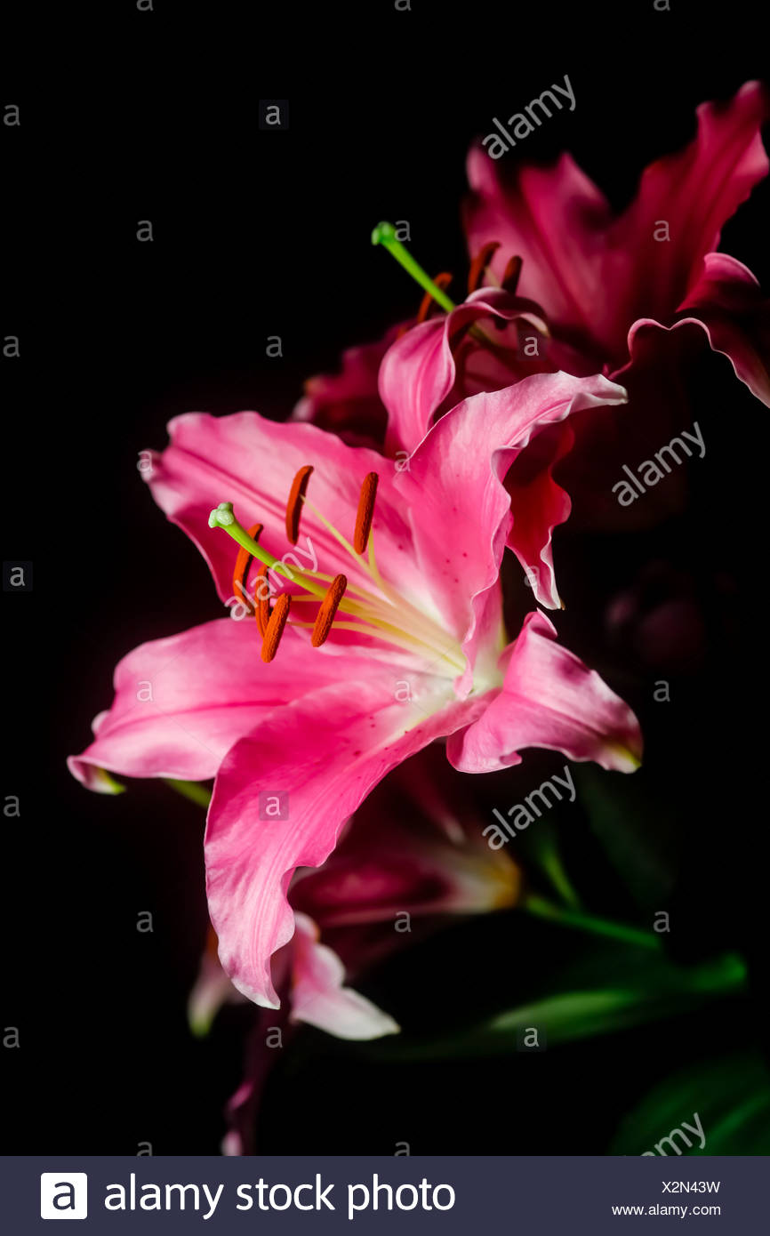 Lily Flowers Against Black Background Close Up Stock Photo