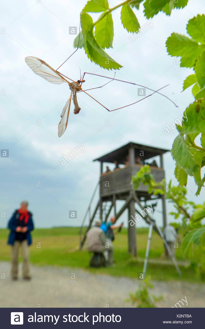 Crane Fly (Tipula spec.), at a twig with leaves, in the background persons at a raised hide, Austria, Burgenland, Seewinkel, Apetlon - Stock Image