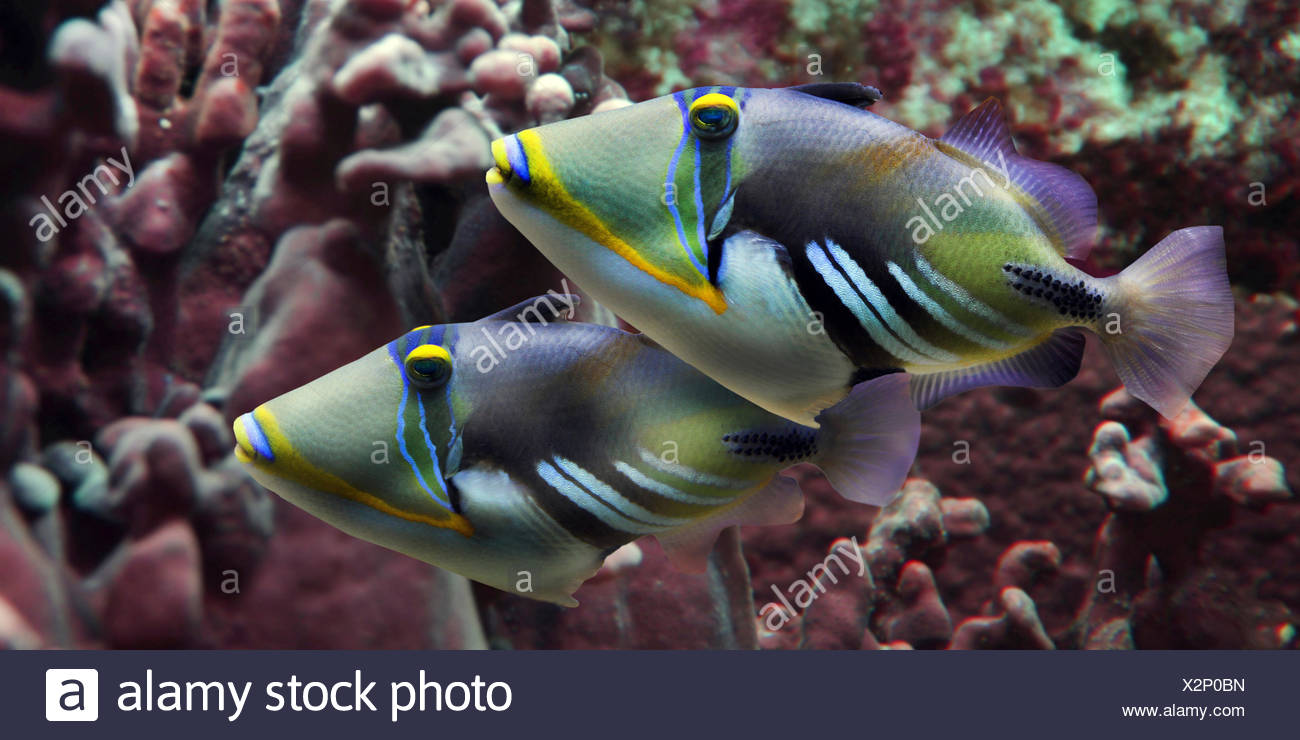Picasso fish, humuhumu, blackbar triggerfish (Rhinecanthus aculeatus), two Picasso fishes in front of corals - Stock Image