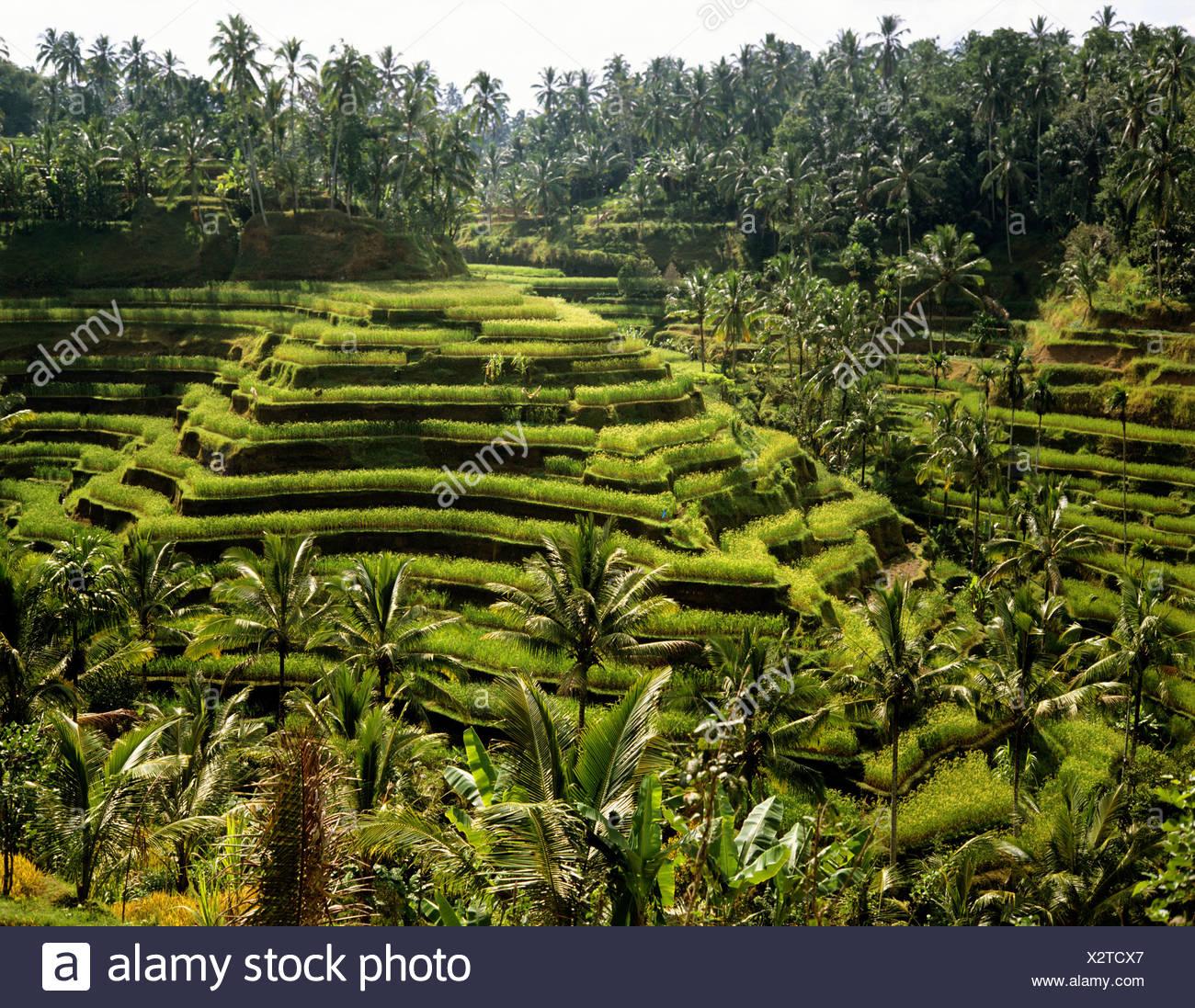 Rice paddies near Ubud, Bali, Indonesia, south-east Asia - Stock Image