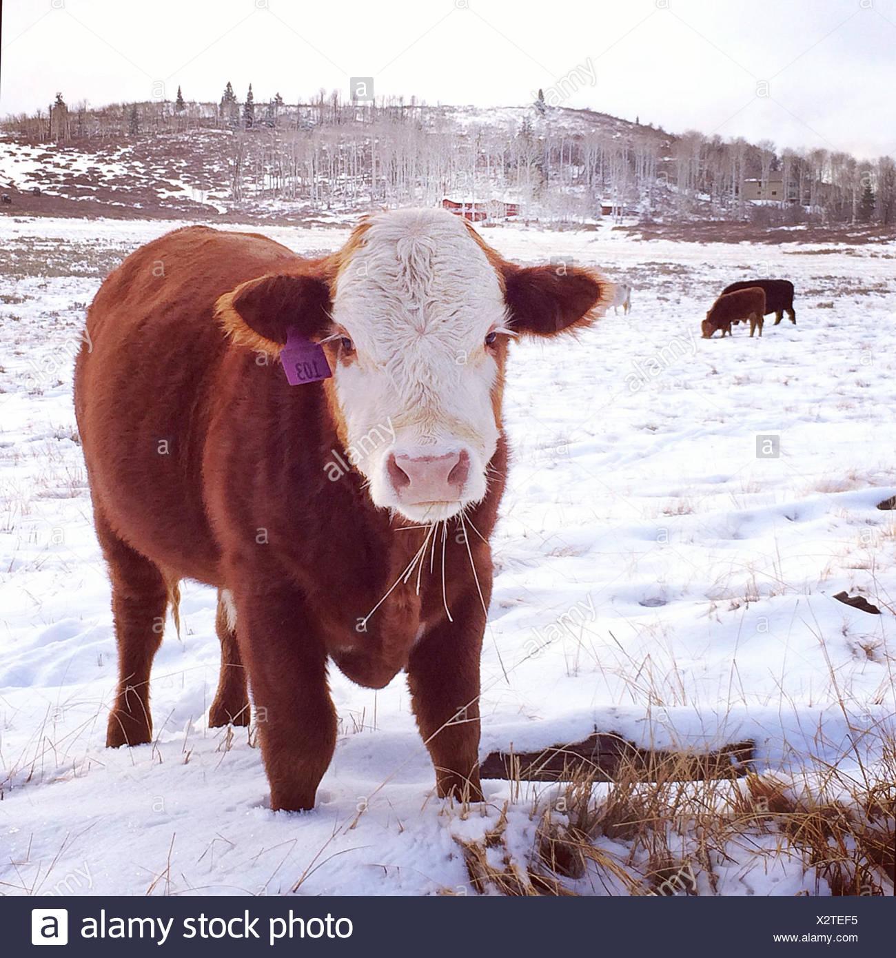 Cow standing in field in snow, Springdale, Utah, America, USA - Stock Image