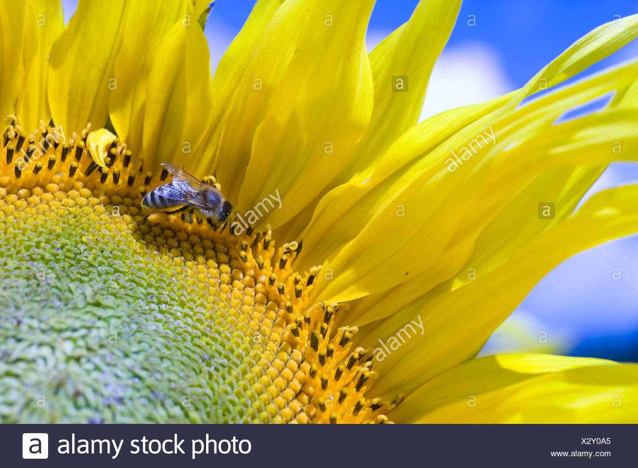 A sunflower - Stock Image