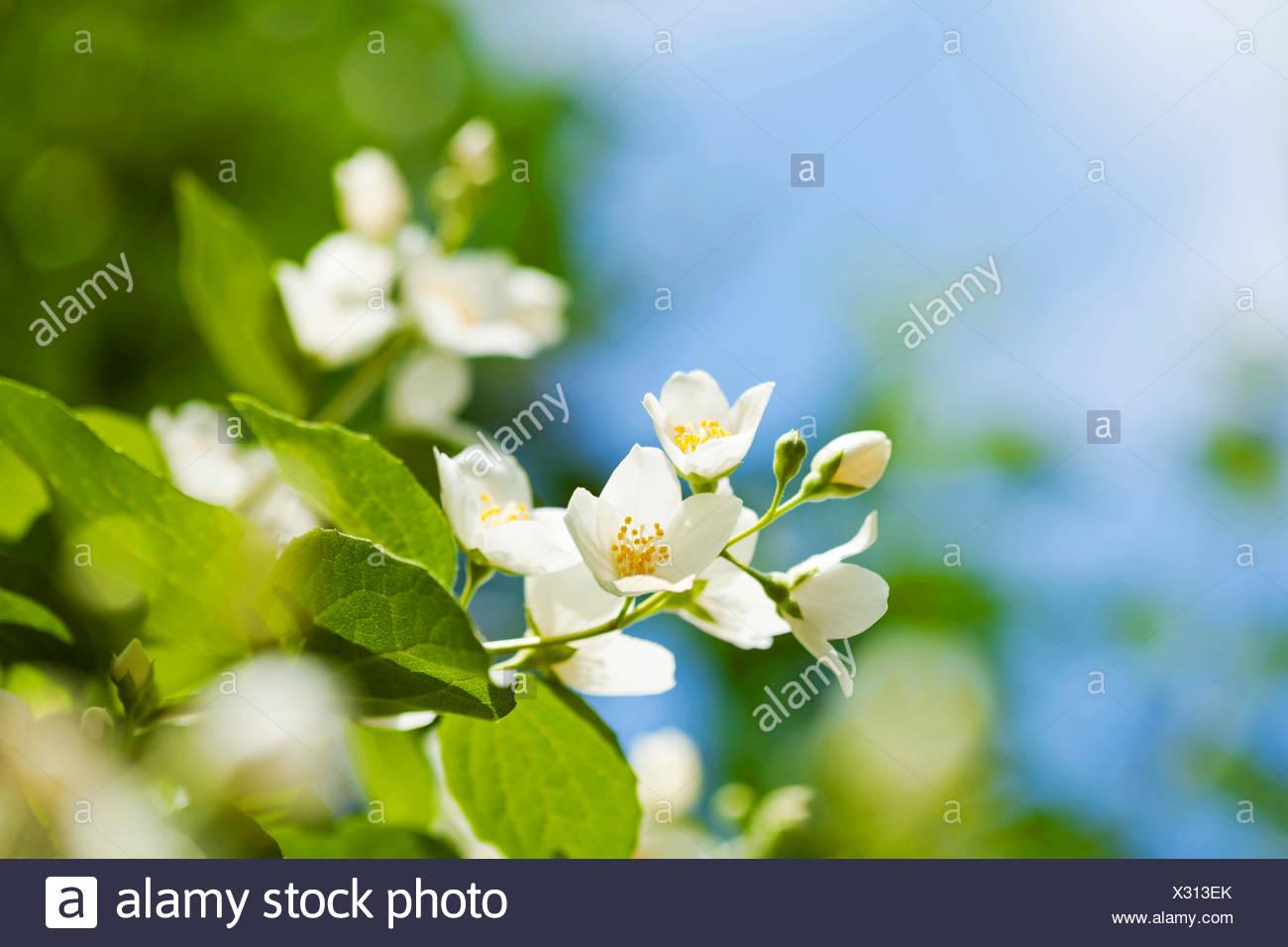 Beautiful fresh jasmine flowers in the garden, macro photography - Stock Image