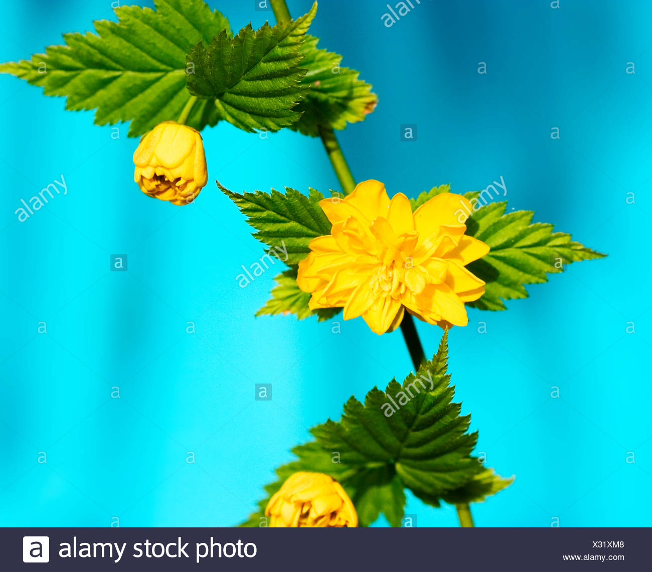 Close up detailed studio shot of Kerria japonica. - Stock Image