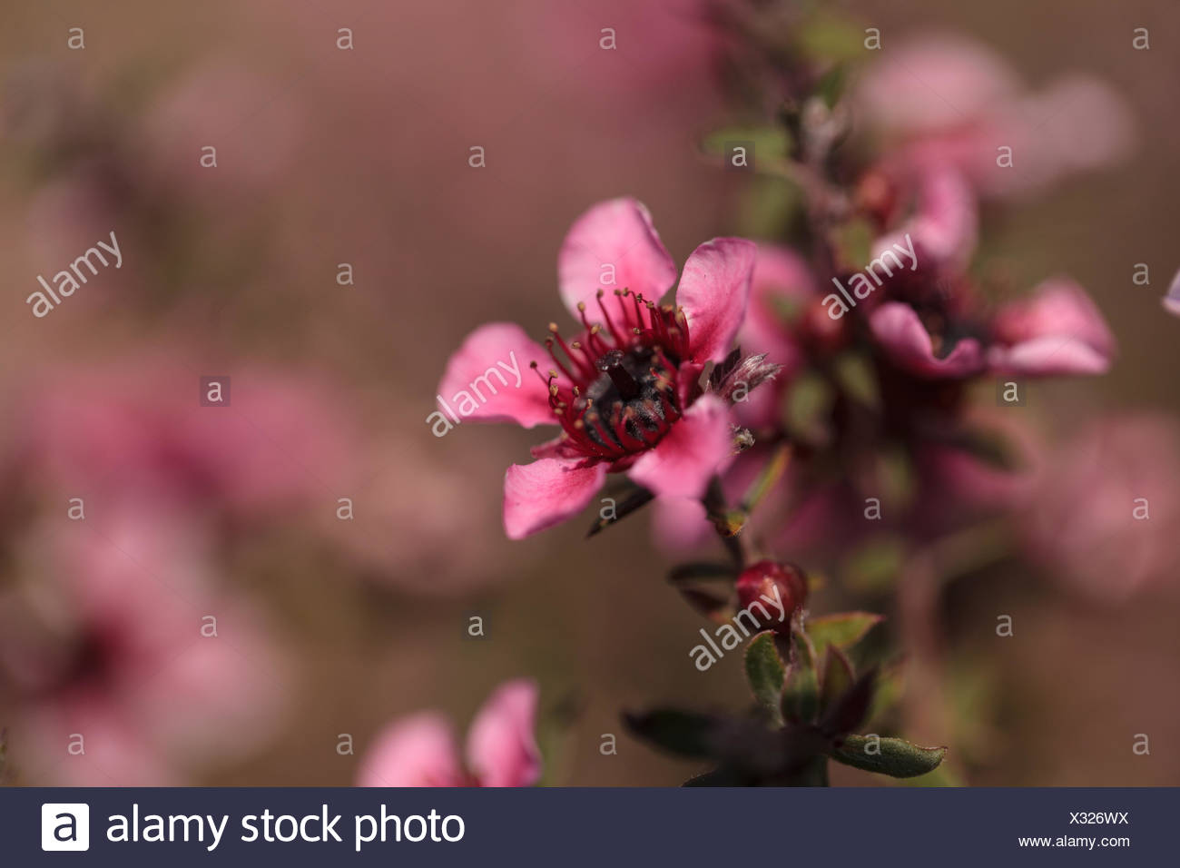 Tiny Pink Flowers On A Leptospermum Tea Tree Bush Growing In A