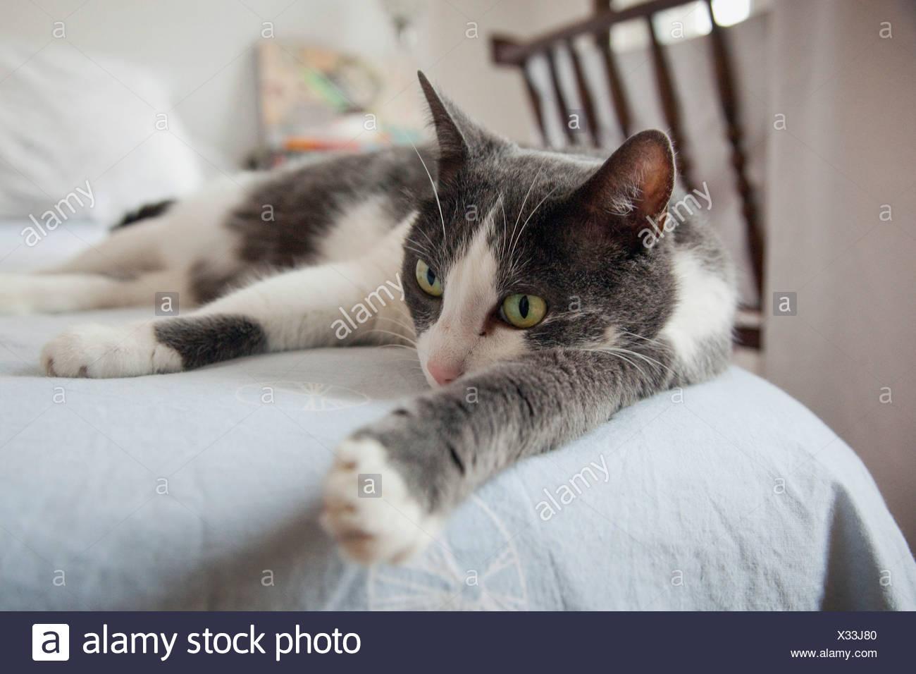 DOMESTIC CAT - Stock Image