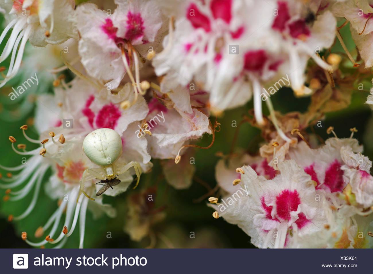 Pink buckeye horse chestnut tree stock photos pink buckeye horse common horse chestnut aesculus hippocastanum crab spider on chestnut flowers germany mightylinksfo Gallery