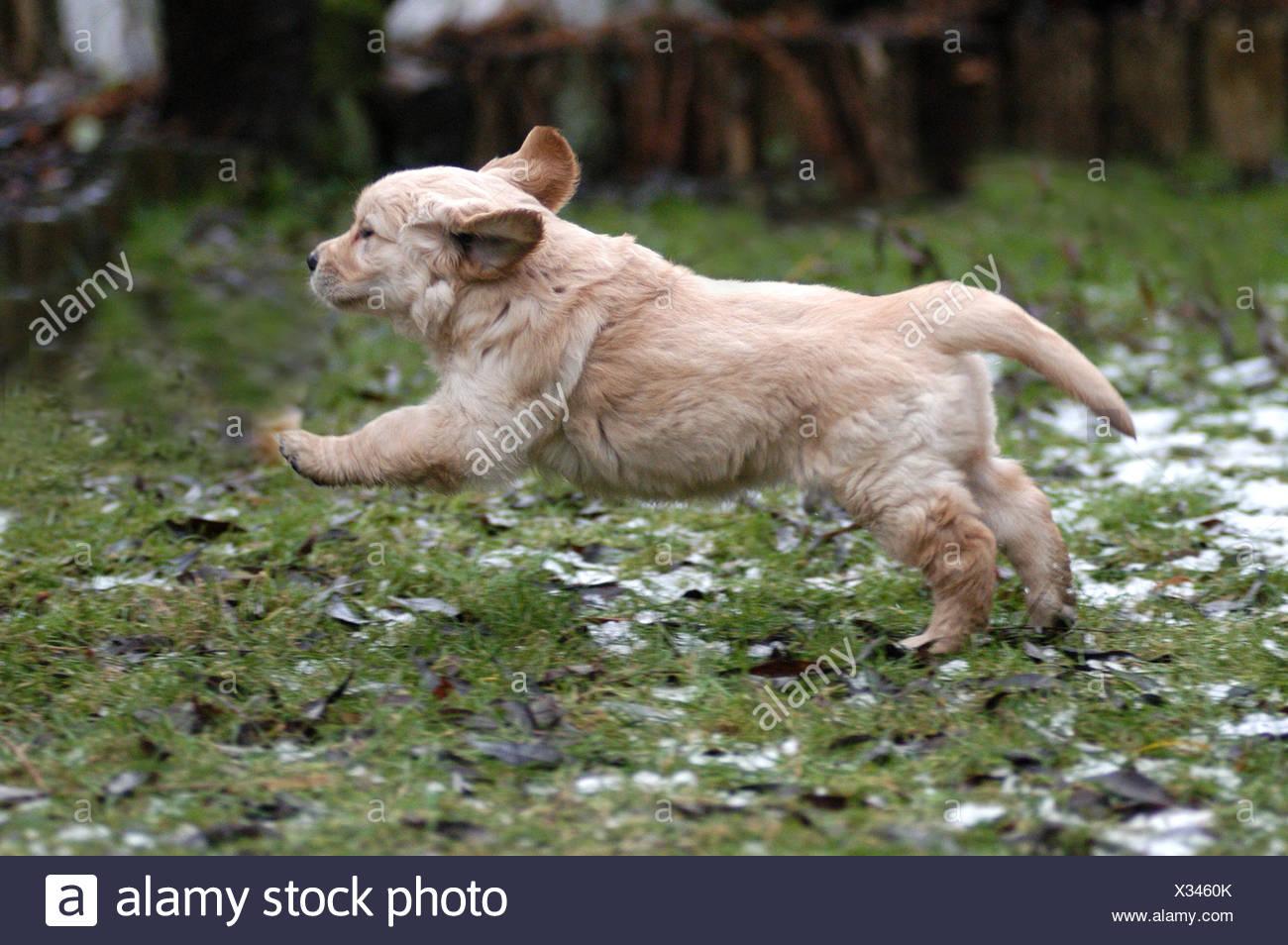 Golden Retriever Puppy Running Stock Photo 277302387 Alamy