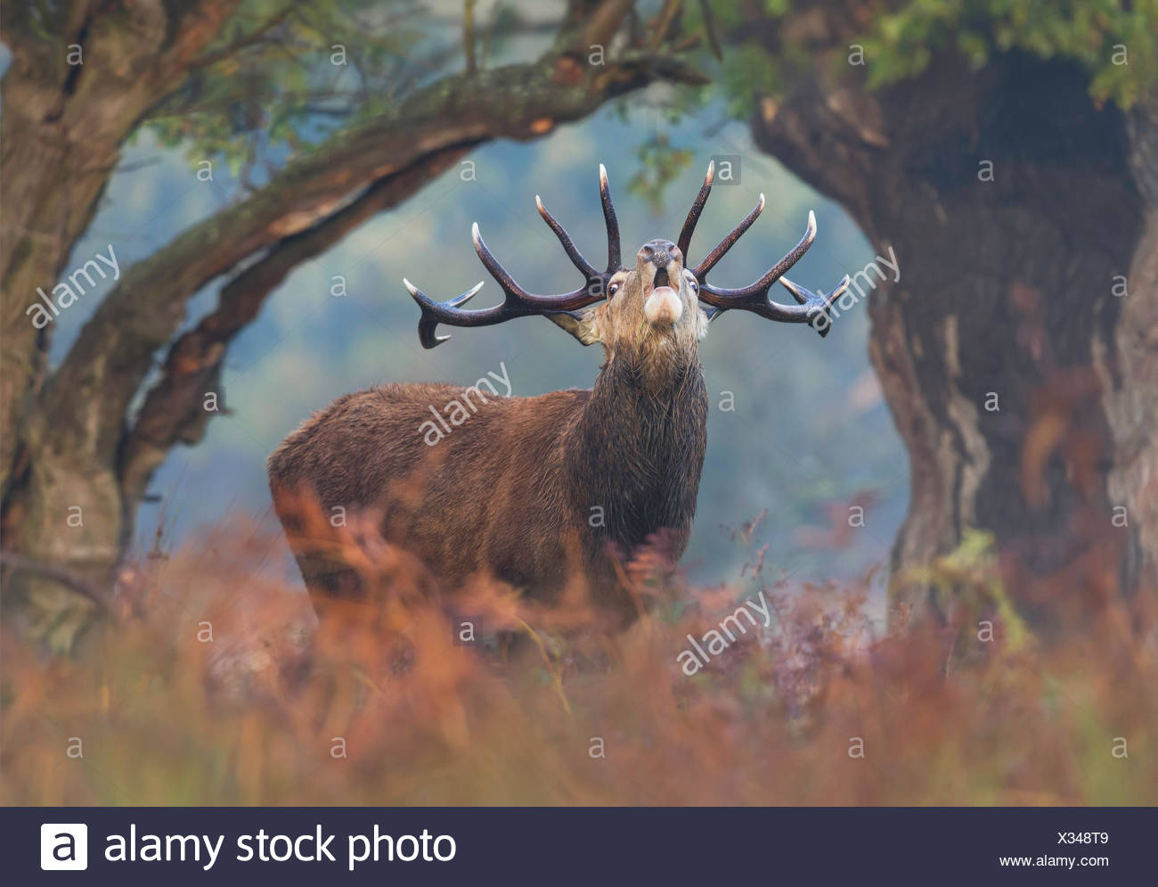 Red deer stag bellowing at dawn, London UK - Stock Image