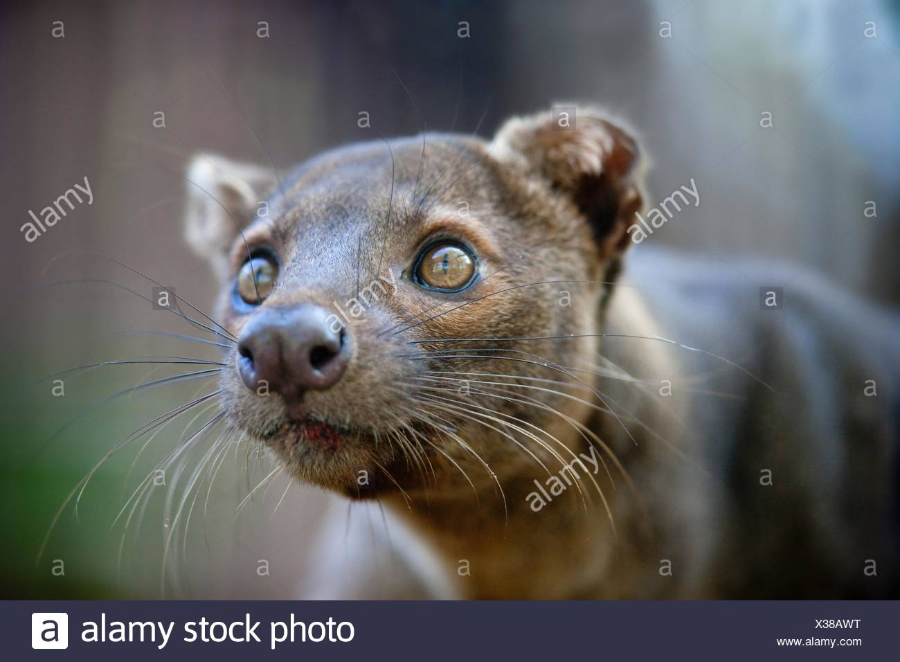 Fossa Stock Photo  277394036 - Alamy b13bc399e2c