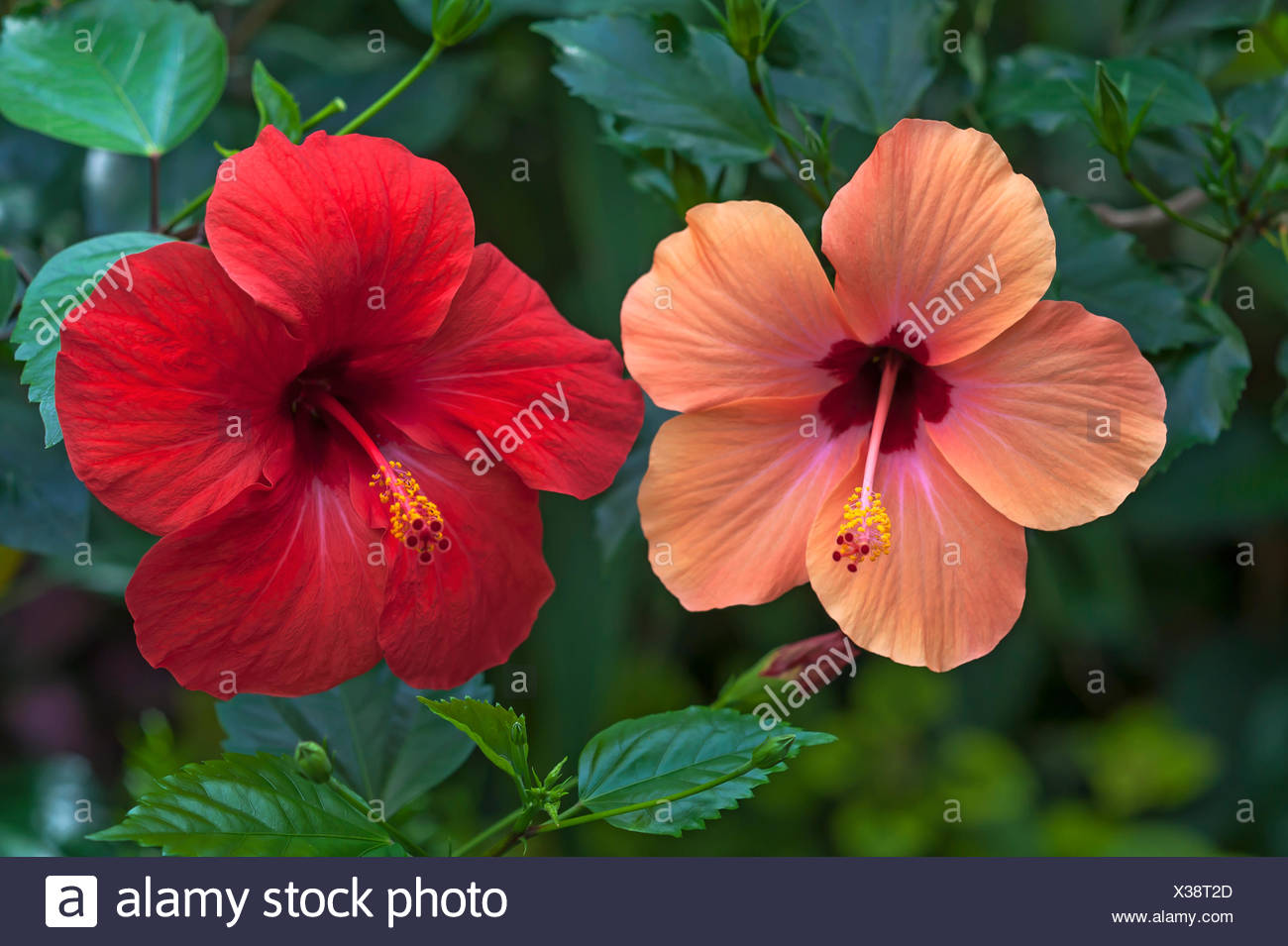 Chinese Hibiscus Hibiscus Rosa Sinensis Red And Pink Flowers