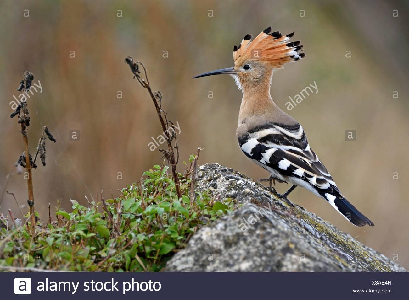 Hoopoe (Upupa epops) breeding - lower Doubs valley - France - Stock Image