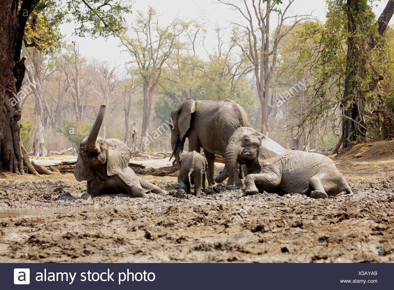 African Elephants bathing in mud, Mana Pools, Zimbabwe - Stock Image
