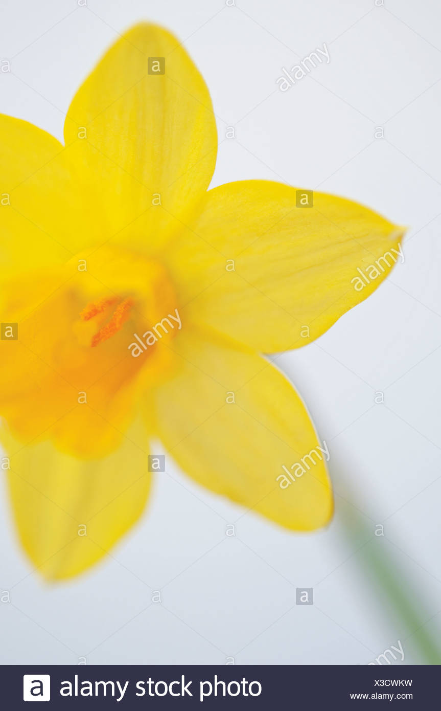 Narcissus, Daffodil - Stock Image