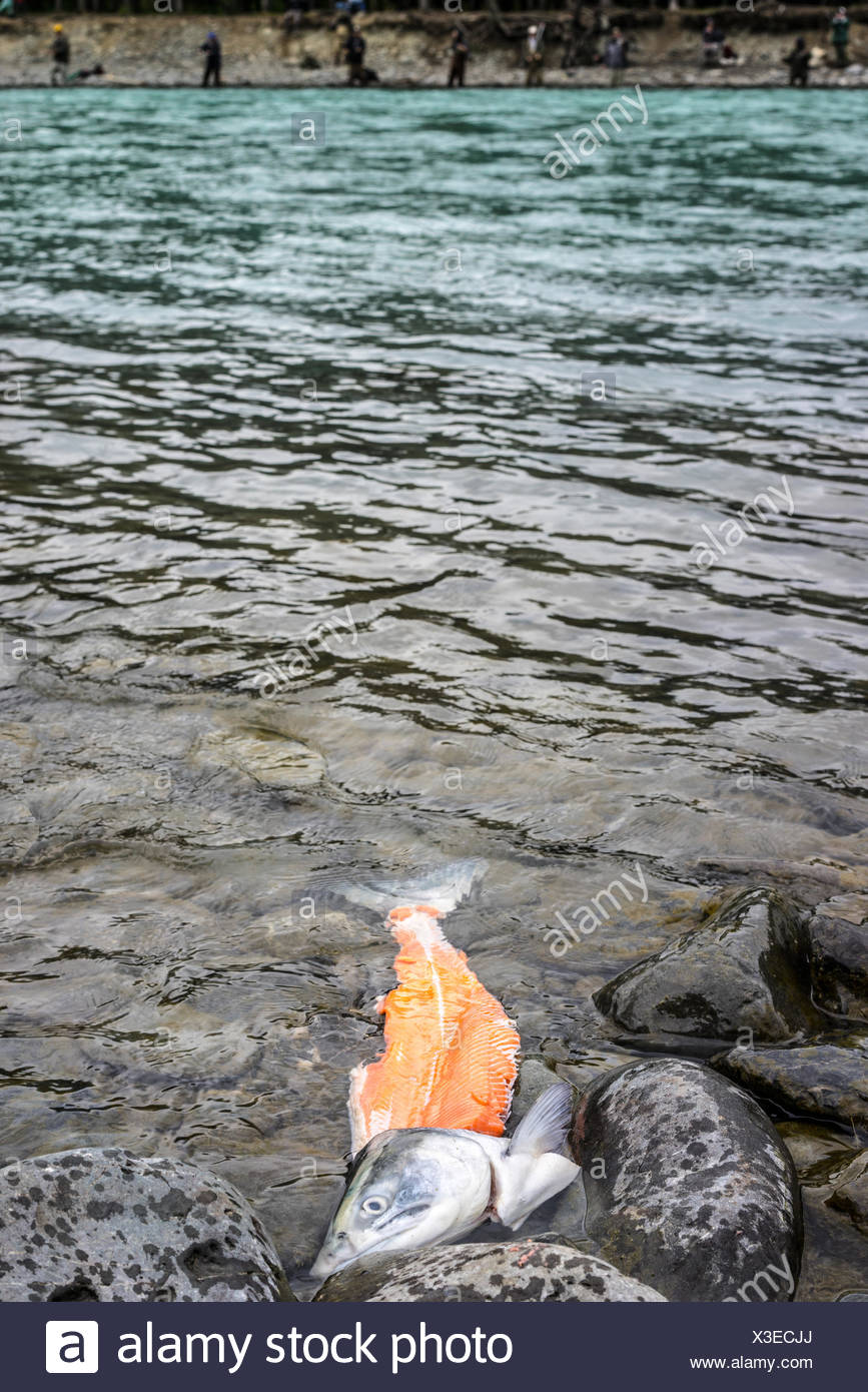 USA, Alaska, Kenai, Russian River, Partially filleted salmon floating - Stock Image