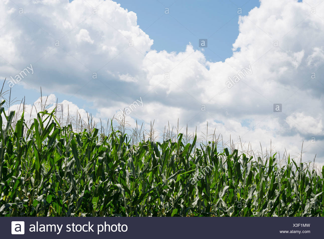 Tall plants in a field, maize corn growing. - Stock Image