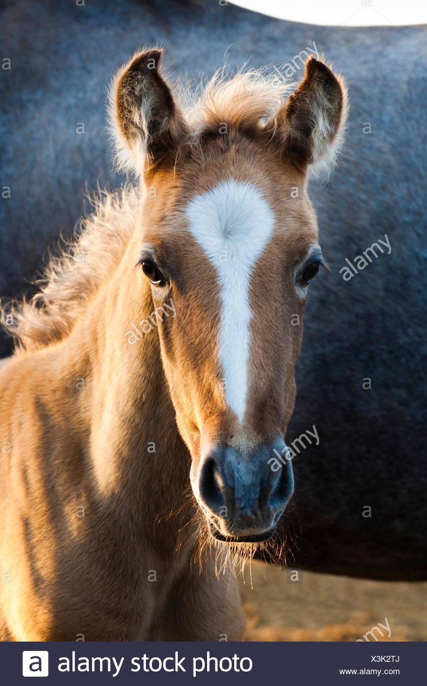 Lusitano horse, foal, Andalusia, Spain - Stock Image