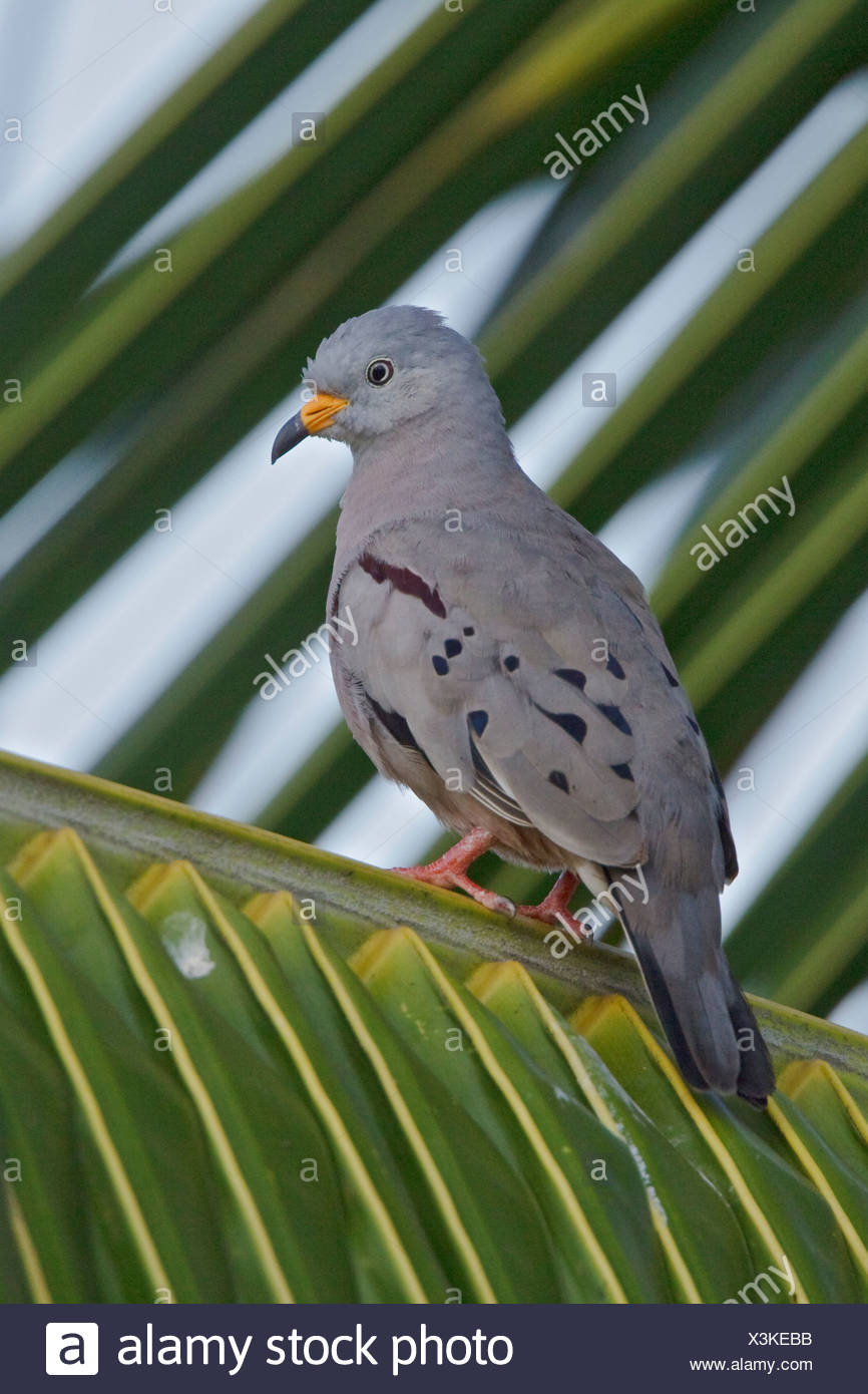 Croaking Ground-Dove (Columbiana cruziana) perched on a branch near the coast of Ecuador. - Stock Image