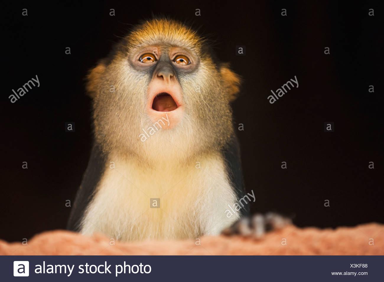 Mona monkey inside house Cercopithecus mona Boabeng-Fiema Monkey Sanctuary Ghana Boabeng-Fiema Monkey Sanctuary Ghana - Stock Image