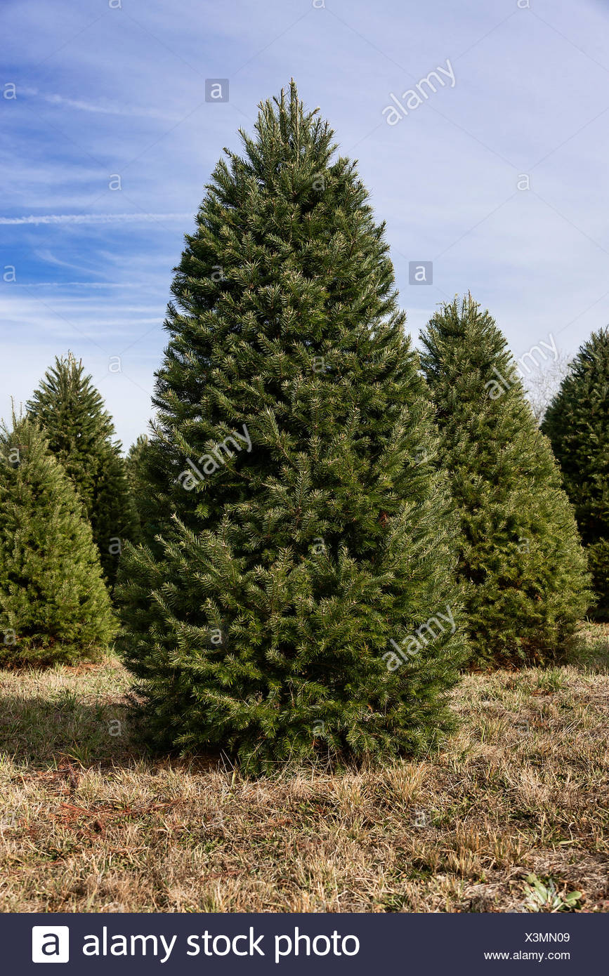 mature christmas trees on a cut your own farm new jersey usa