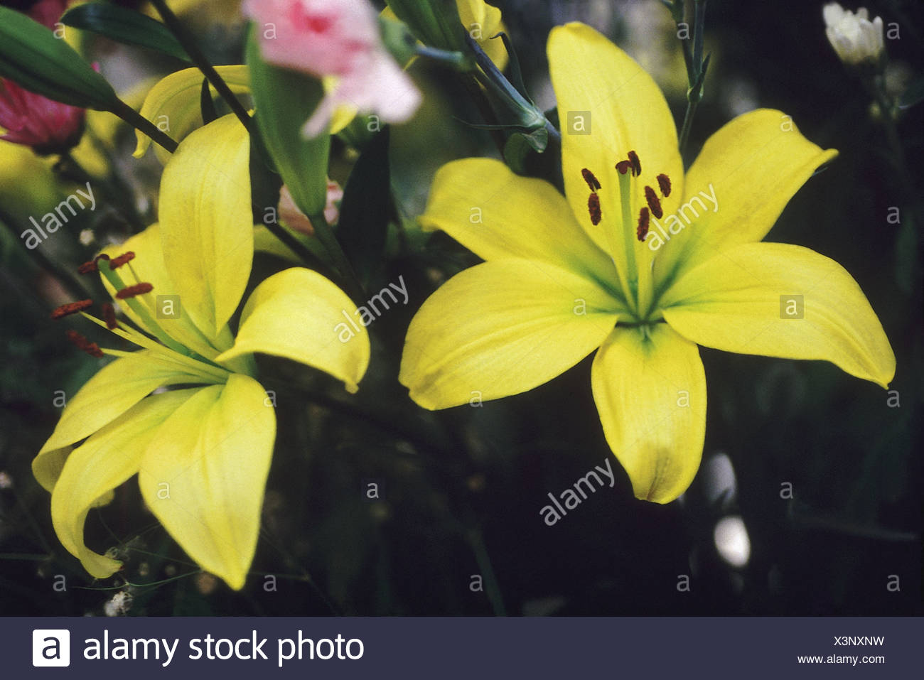 Lily flowers symbolize purity and refined beauty color or type can lily flowers symbolize purity and refined beauty color or type can convey different meanings yellow gaiety mightylinksfo