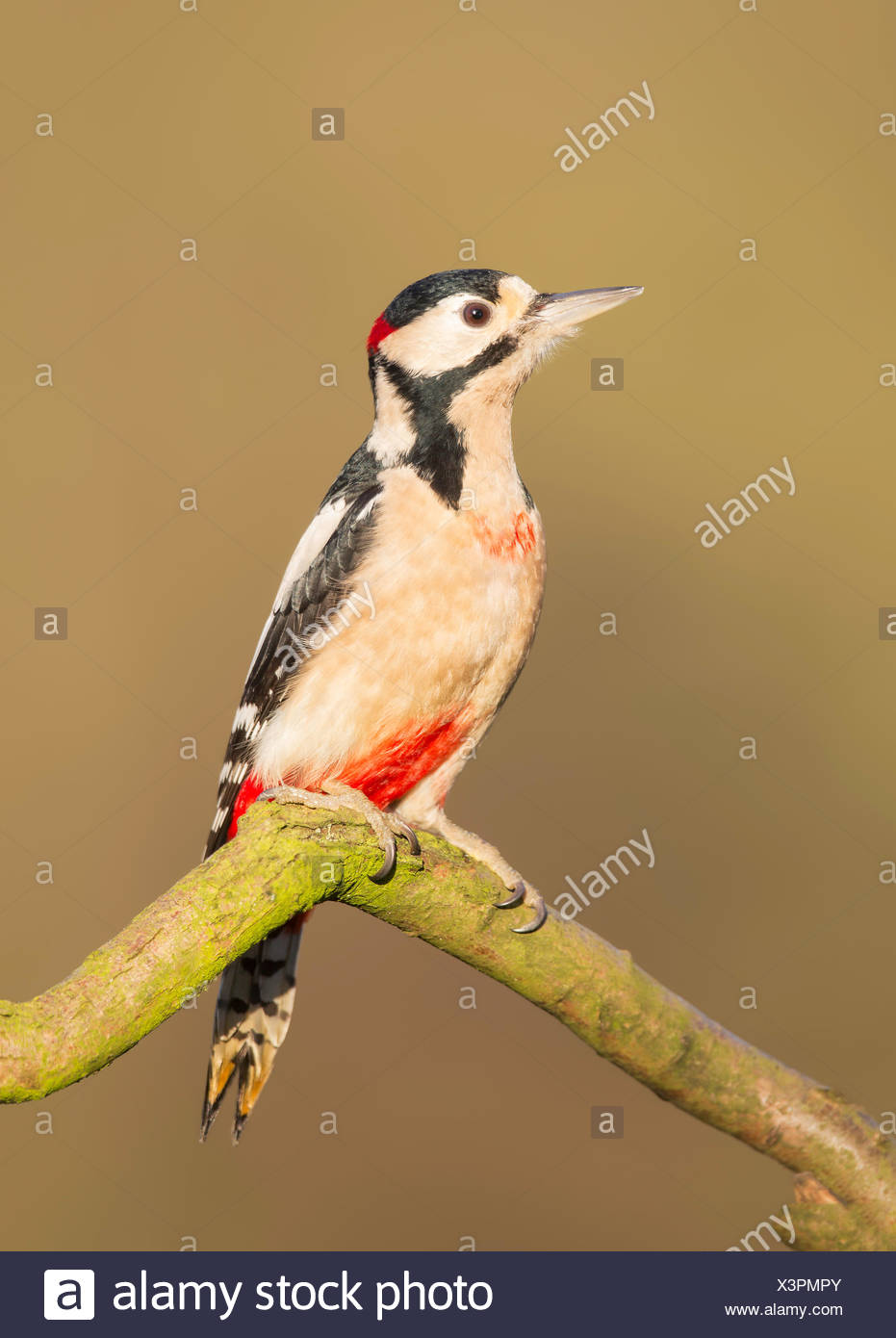 UK, Wild Great Spotted Woodpecker on branch - Stock Image