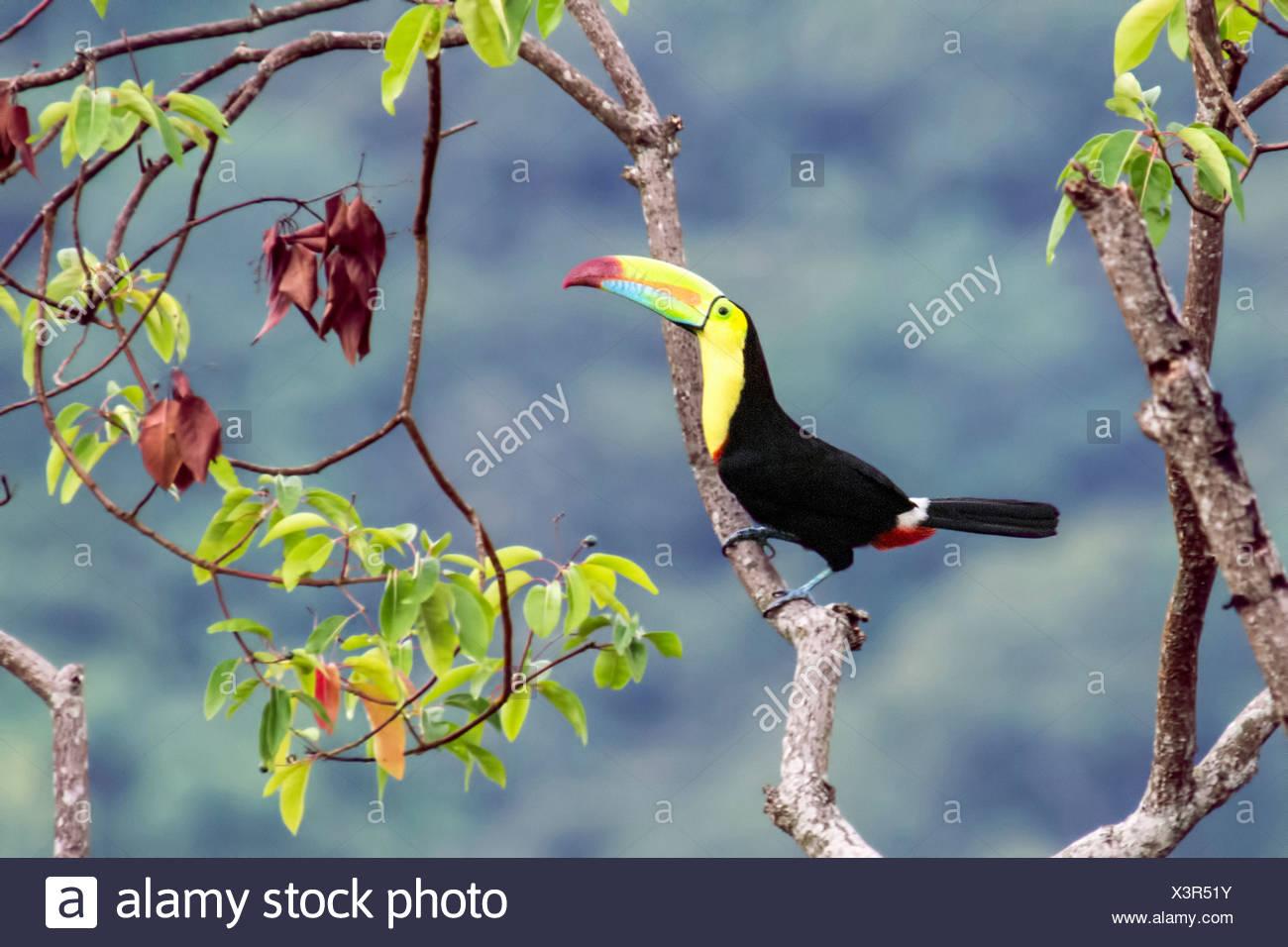 Keel-billed toucan, Ramphastos sulfuratus, Minca, Magdalena, Colombia - Stock Image