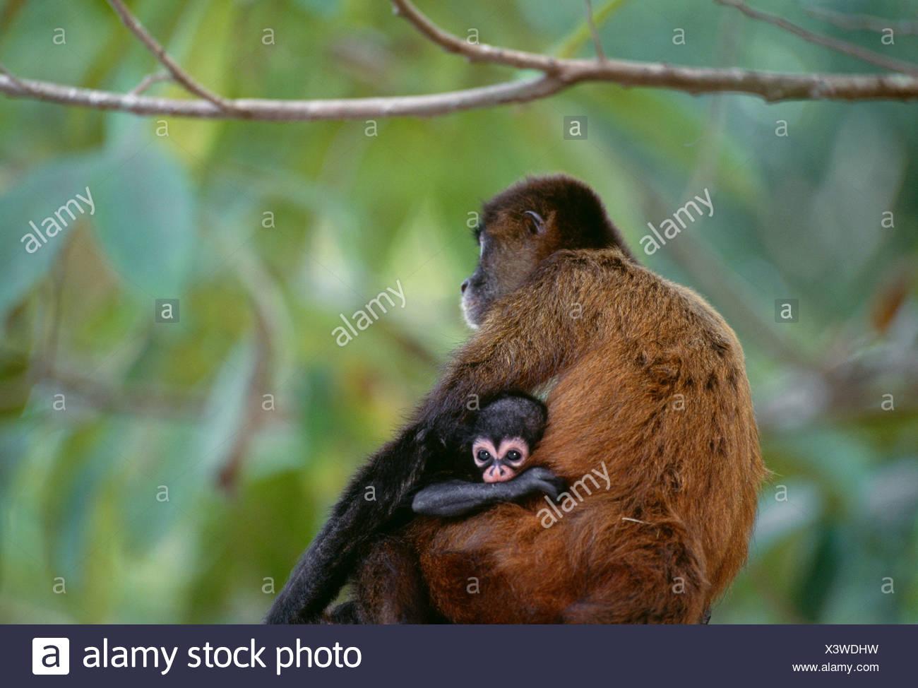 Black-handed spider monkey and infant, Panama - Stock Image